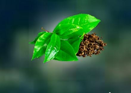 Extracto de hoja de té verde