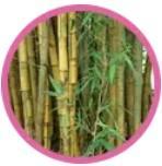 Bambú común