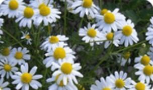 Extracto de hierba de manzanilla