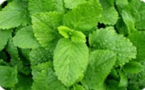 Extracto de hojas de melisa medicinal