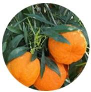 Extracto de naranja amarga
