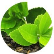 Extracto de té verde