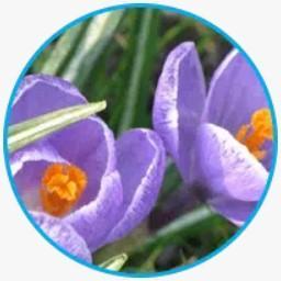 Extracto de flor de azafrán
