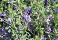 Extracto de hojas de alfalfa