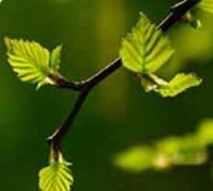 Extracto de las hojas de abedul