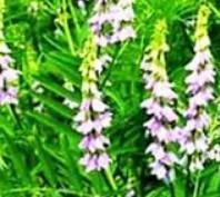 Flores de tanacetum