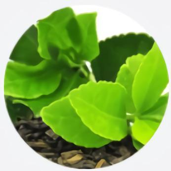 Extracto de hojas de té verde