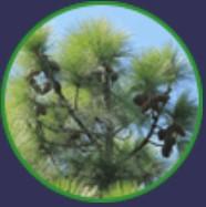 Pinus roxburgii